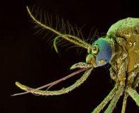 Szúnyog csápjai