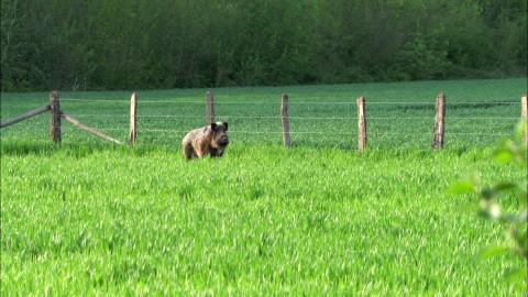 Ki az erősebb? A vaddisznó vagy a kerítés?