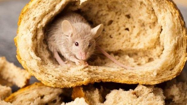 Egér a kenyérben